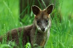 Baby Yellow-footed rock-wallaby, kangaroo. Little baby kangaroo in grass Royalty Free Stock Photos