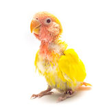 Baby yellow love bird. Isolated stock image