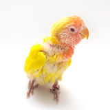 Baby yellow love bird. Isolated royalty free stock photo