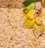 Baby yellow lovebird Stock Image