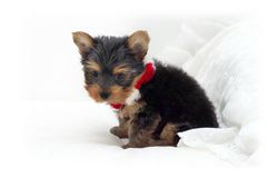 Baby Yorkie Stock Images