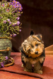 Baby yorkshire. A puppy yorkshire is beside a big jar filled with purple flowers, he nod in an interrogative mood, photo shot in studio on a reddish brown stock images
