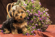 Baby yorkshire. A puppy yorkshire is sitting close to a big jar filled with purple flowers flowing out of it, he nod in an interrogative mood, photo shot in stock photography