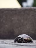 A baby young turtle is standing on the ground alone and looking Stock Photography