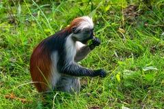 Baby Zanzibar red colobus or Procolobus kirkii. Close-up of baby of Zanzibar red colobus or Procolobus kirkii eats unripe leaves in Jozani forest, Tanzania Stock Photography