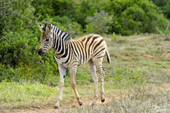 Baby Zebra Stock Photo