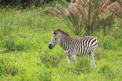 Baby zebra Royalty Free Stock Photo