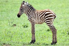 Baby Zebra. Against green grass background Royalty Free Stock Photos