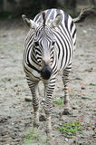 Baby Zebra Royalty Free Stock Photography