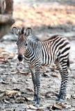 Baby Zebra Royalty Free Stock Image
