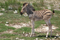 Free Baby Zebra Stock Photo - 6977870