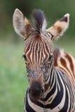 Baby zebra Royalty Free Stock Photos