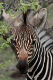 Baby Zebra. Zebras are African equids best known for their distinctive white and black stripes. Their stripes come in different patterns unique to each Stock Photos