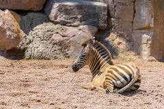 Baby Zebra In African Savanna Stock Photo