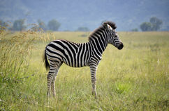 Baby Zebra. Alone in field stock images