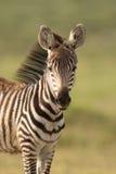 Baby Zebra in Amboseli National Park,, Kenya Royalty Free Stock Photo