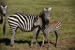 Baby Zebra And Her Mother Royalty Free Stock Photography