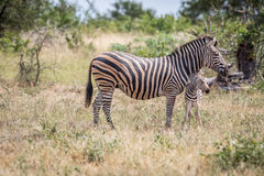 Baby Zebra bonding with his mother. Baby Zebra bonding with his mother in the Kruger National Park, South Africa Stock Images