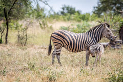 Baby Zebra bonding with his mother. Baby Zebra bonding with his mother in the Kruger National Park, South Africa Stock Image