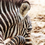 Baby Zebra Closeup Square Royalty Free Stock Photo
