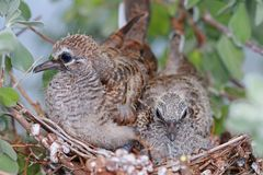 Baby Zebra Doves on a Neon Tree Stock Image