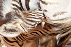 Baby Zebra drinking from her mother Stock Photo