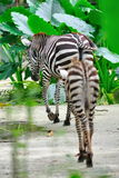Baby zebra following mother Stock Photo
