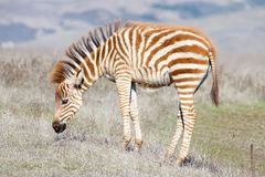 Baby zebra grazing in a drought parched field. Baby zebra grazing in drought parched field of grass, resting. Zebras are generally social animals that live in royalty free stock images