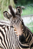 Baby zebra head front view Royalty Free Stock Photography
