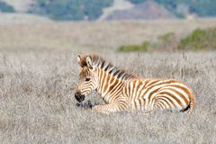 Baby zebra laying in a drought parched field. Baby zebra laying in drought parched field of grass, resting. Zebras are generally social animals that live in royalty free stock images