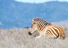 Baby zebra laying in a drought parched field. Baby zebra laying in drought parched field of grass, resting. Zebras are generally social animals that live in royalty free stock photography