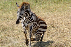 Baby zebra lifting Royalty Free Stock Photo