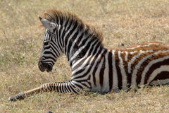 Baby zebra lying Stock Photo