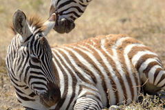 Baby zebra lying Royalty Free Stock Photo