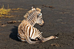 Baby zebra lying on the ground Stock Photo