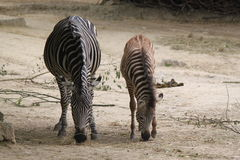 Baby zebra and mama zebra Royalty Free Stock Image