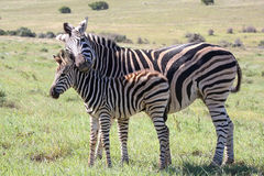 Baby Zebra and Mom Stock Image