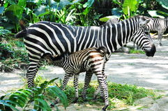 Baby zebra and mother Stock Photo