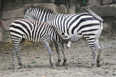 Baby Zebra and mother Stock Images