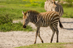 Baby zebra. With mother royalty free stock photo