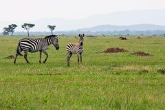 Baby Zebra with Mother stock photos
