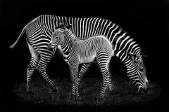 Baby Zebra and Mother Royalty Free Stock Images