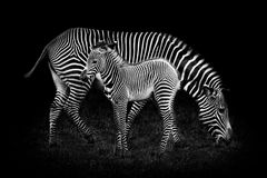 Baby Zebra and Mother Royalty Free Stock Photography