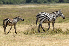 Baby zebra with mother Stock Images