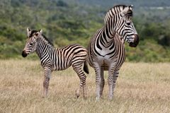 Baby Zebra and Mother Stock Photo