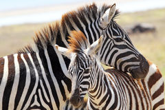 Baby zebra with mother Stock Photos