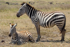 Baby zebra with mother. A baby zebra (Equus Quagga) lying with his mother in Ngorongoro Conservation Area, Tanzania stock photography