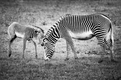 Baby Zebra and Mother Royalty Free Stock Photos