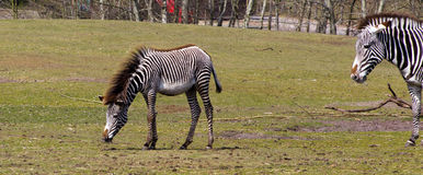Baby zebra and mother Stock Photography