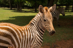 Baby zebra with mother Royalty Free Stock Images